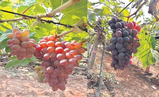 52 Types Of Foreign Grapes Cultivates In nRajendranagar - Sakshi