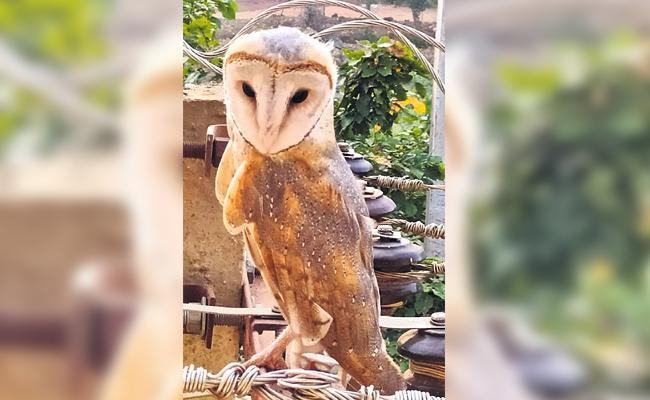 Rare Bird Owl Caught in Vikarabad - Sakshi
