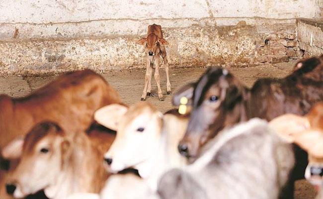 Marry Minor Daughter To Atone For Accidentally Killing ACalf In MP - Sakshi