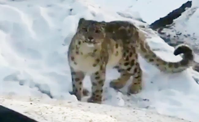 Rare Snow Leopard Video Himachal Pradesh Get Twitter Attention - Sakshi