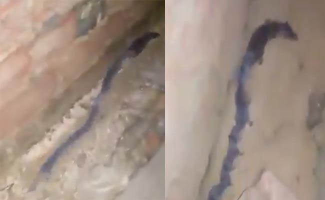 Viral Video How Rat Looking Like A Snake  - Sakshi