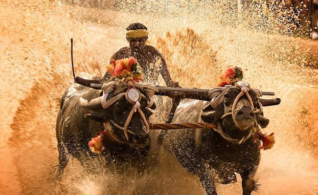 Traditional Kambala Buffalo Game Famous In karnataka - Sakshi
