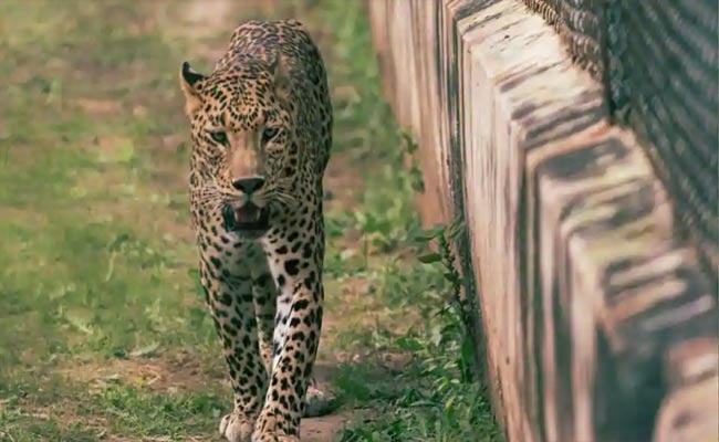 Children Lock Themselves In Classrooms After Leopard Strays Into School - Sakshi
