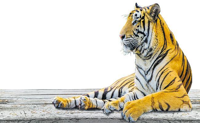 Tigers Move Towards the Telangana Tiger Reserve from Maharashtra Tiger Reserve - Sakshi