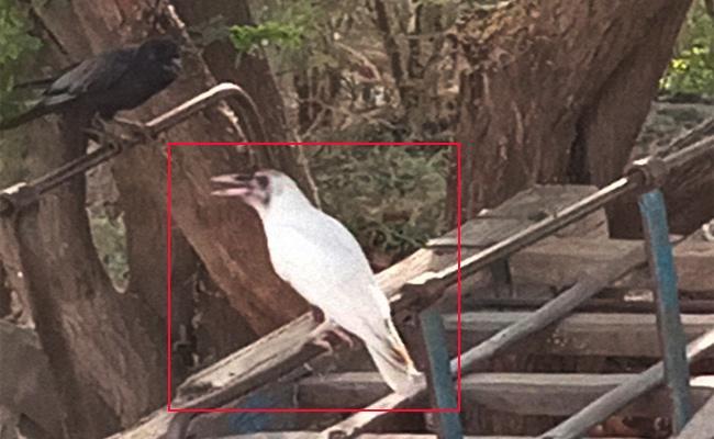White Crow Caught in Kurnool Gajjehalli Village - Sakshi