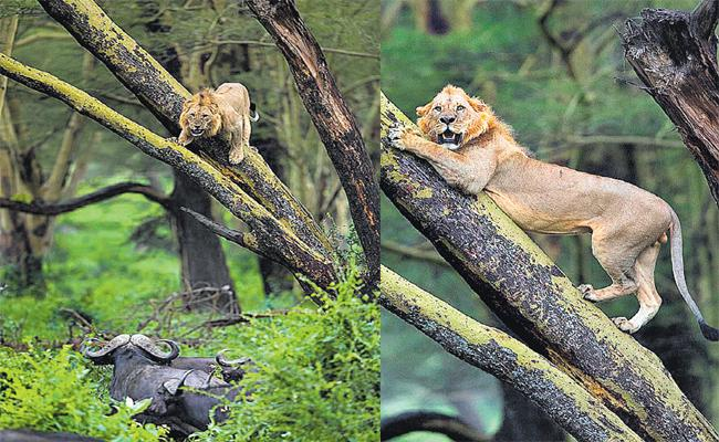 Lion Escape From Buffaloes Group Threats in Kenya Park - Sakshi