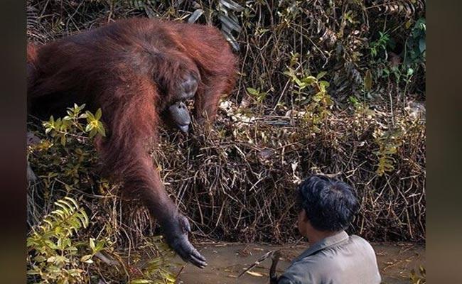 Orangutan Helping Hand To Man In River Netizens In Awe - Sakshi