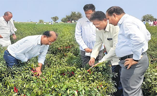 Mirchi Crops Come Out From Virus in Andhra Pradesh - Sakshi