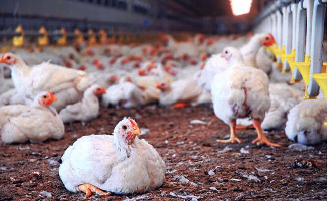 COVID 19 Effect on Chicken Prices Kurnool - Sakshi