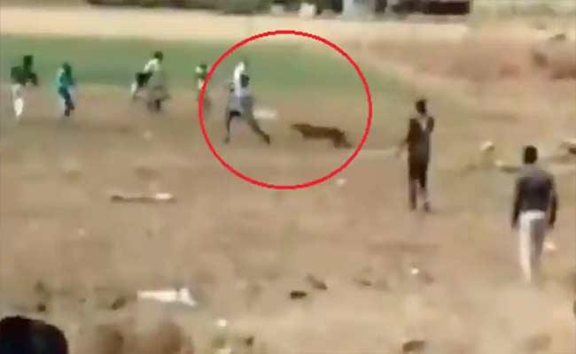 IFS Officer Shares Scary Video Leopard Attacking On Crowd - Sakshi