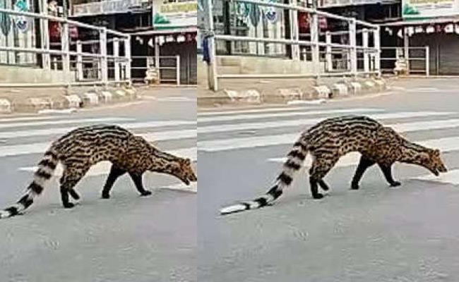 Malabar Civet Walks On Kerala Road In Lockdown Time - Sakshi