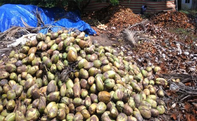 Coronavirus Effects on Coconuts in West Godavari - Sakshi