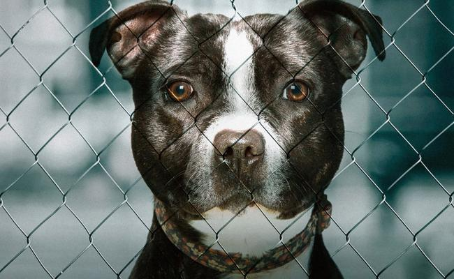 Man Arrested Found High Speed And Pit Bull Behind The Wheel In US - Sakshi