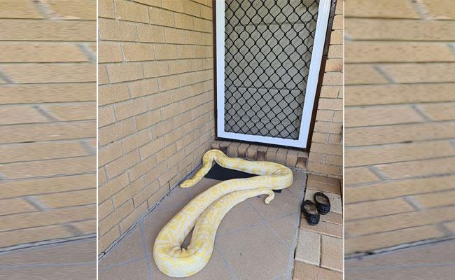 Woman Shocked To See Python In Front Of Door - Sakshi