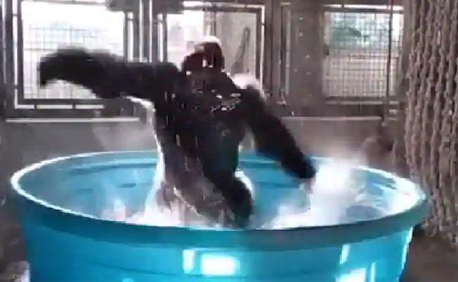 Gorilla Bathtub Dance Viral Video - Sakshi