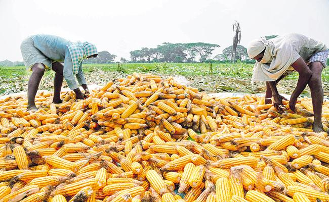 Maize Crop Yield at record levels In AP - Sakshi