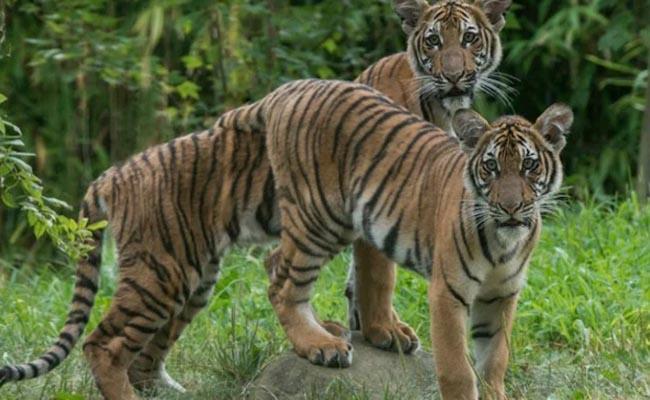 Tiger in US zoo tests positive for coronavirus - Sakshi