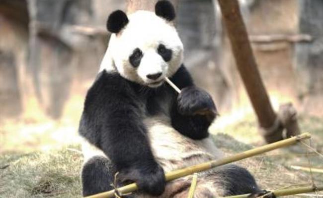 Canada Returning Pandas To China Over Bamboo Shortage - Sakshi