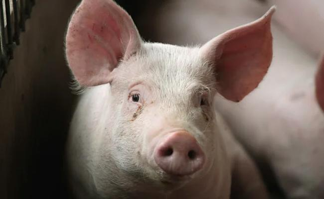 Assam Government Is Preparing For Mass Culling Due To African Swine Fever - Sakshi