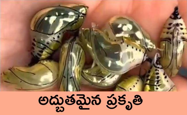 Golden Pupas Video Goes Viral In Twitter - Sakshi