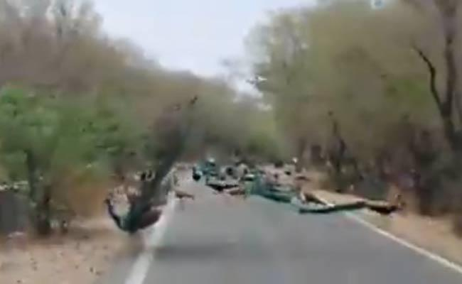 Viarl Video: Peacocks Cause To Amazing Traffic Jam - Sakshi