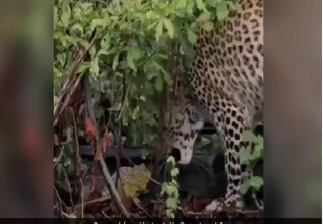 Viral Video A Tiny Frog In A Fight With Leopard - Sakshi