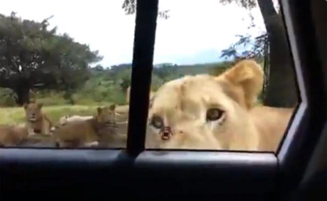 Watch Video Of Lioness Opens Safari Car Door With Her Teeth - Sakshi