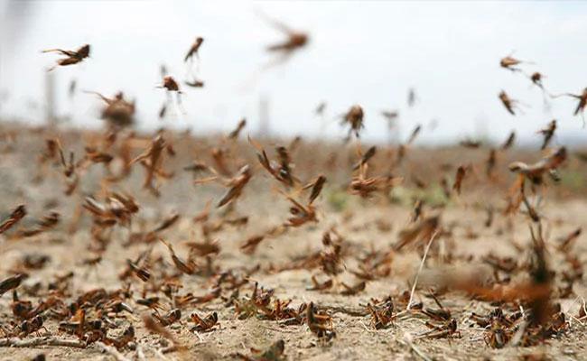 Jhansi District Prepared Chemical Spray To Hit Locust Swarm - Sakshi