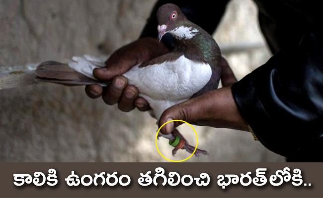 Pakistani Pigeon Carrying Coded Message Captured In Jammu and Kashmir - Sakshi