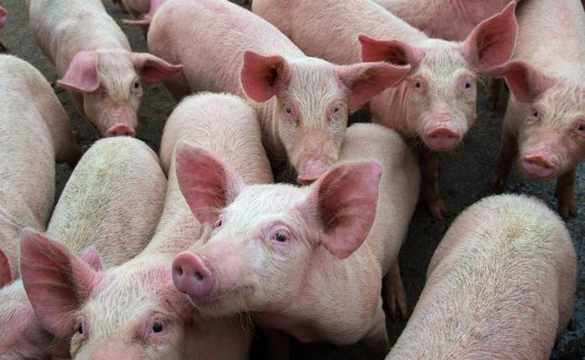 Over 15,600 Pigs Dead Due To African Swine Fever In Assam - Sakshi