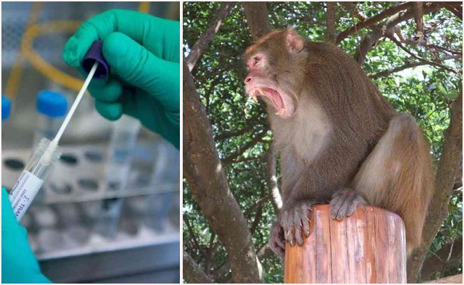 Monkeys Snatch Coronavirus Test Samples In Meerut - Sakshi