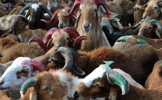 Telangana Got First Place For Raising Of Sheep - Sakshi