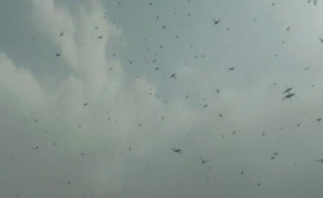Telangana Government Steps To Prevent Locusts - Sakshi