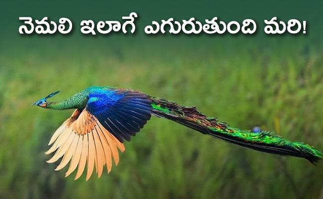 Peacock Flying In Ranthambore Video Twitter Says Amazing - Sakshi