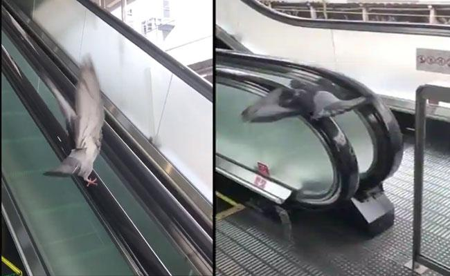 Pigeon Uses Escalator Handrail As A Treadmill Video Viral On Social Media - Sakshi