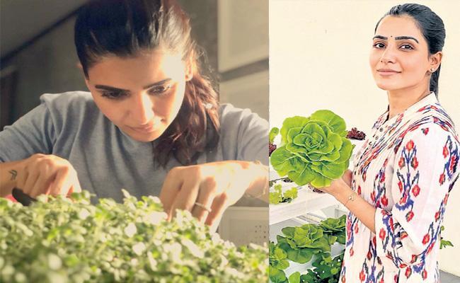 Samantha harvests first batch of cabbage microgreens - Sakshi