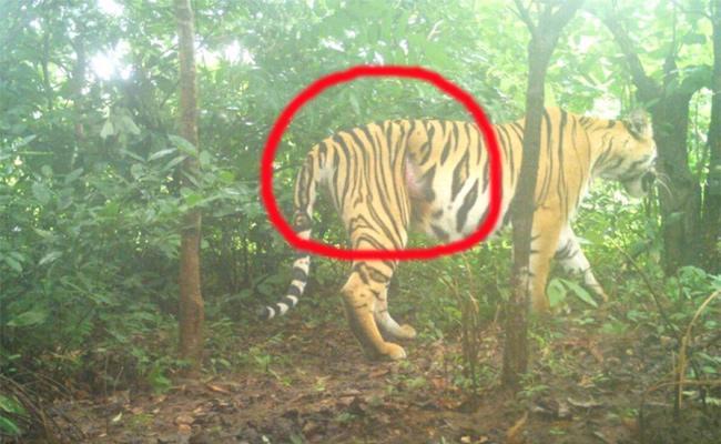 Injured Tiger Missing in Adilabad - Sakshi