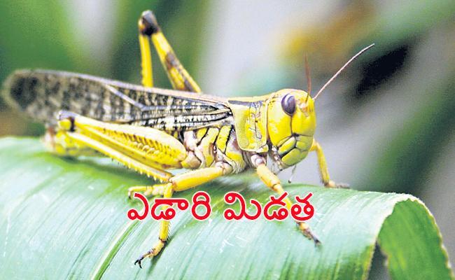 Special Story on Locust Attacks Crops Sagubadi - Sakshi