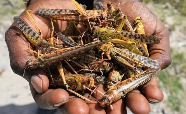 Locust Does Not Use For Feed - Sakshi