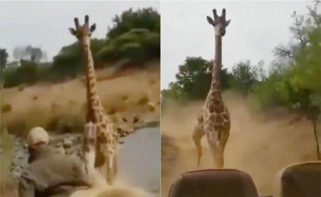 Viral Angry Giraffe Chases A Car - Sakshi