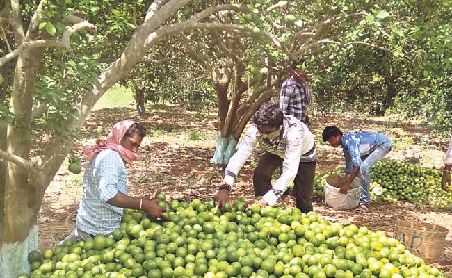 Prakasam Orange Fruits Export to Odisha - Sakshi