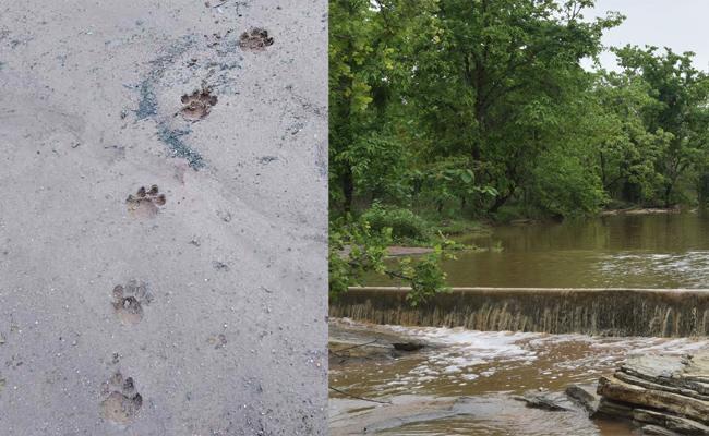 Tiger Walking in Forest For Permanent Shelter Adilabad - Sakshi
