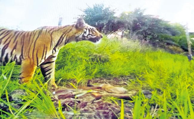 21 lakhs worth of tiger hunger - Sakshi