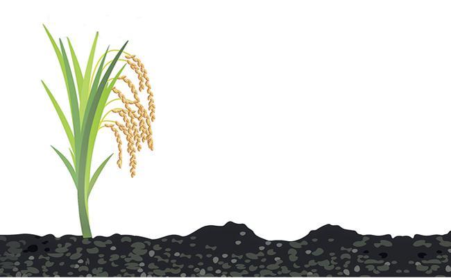 Professor Jayashankar University Scientists Discovered New Variety Of Rice Telangana Sona - Sakshi
