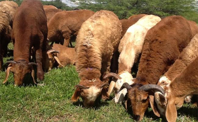 Goats And Sheep Quarantined After Shepherd Contracts coronavirus positive - Sakshi