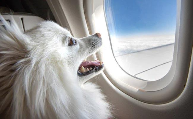 Private Jet Hired For Pets From Delhi To Mumbai - Sakshi