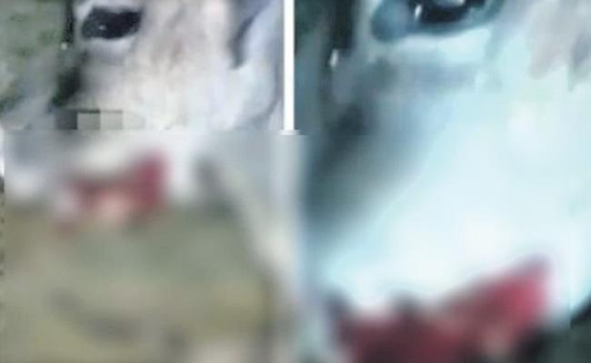 cow injured due to cracker explosion in mouth surfaces online - Sakshi