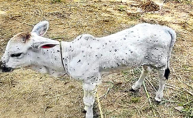 Some Animals Infected With Lumpy Skin Disease In Telangana - Sakshi