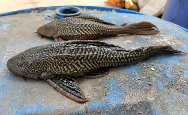 Aqua Formers Loss With Gost Fish in West Godavari - Sakshi