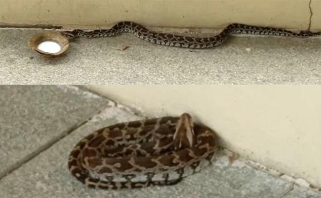 Python Entered In Basara Saraswati Temple At Adilabad District - Sakshi